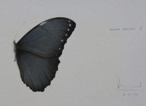 Morpho peleides | Guillermo Coll