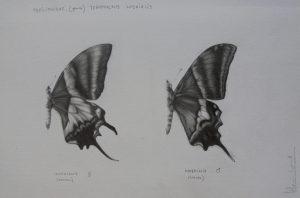 Teinopalpus imperialis   Guillermo Coll