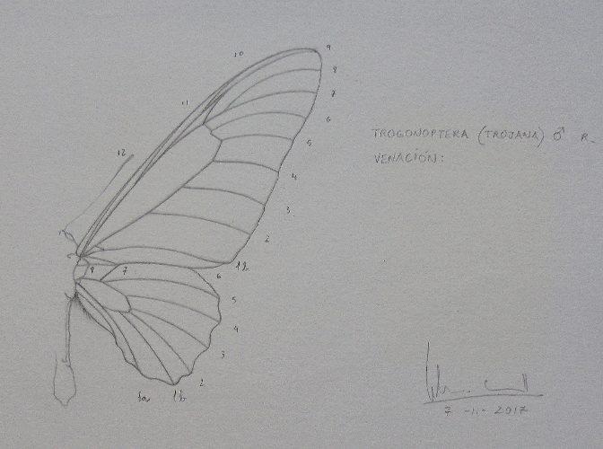 Trogonoptera trojana (venation) | Guillermo Coll