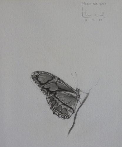 Philaethria dido | Guillermo Coll