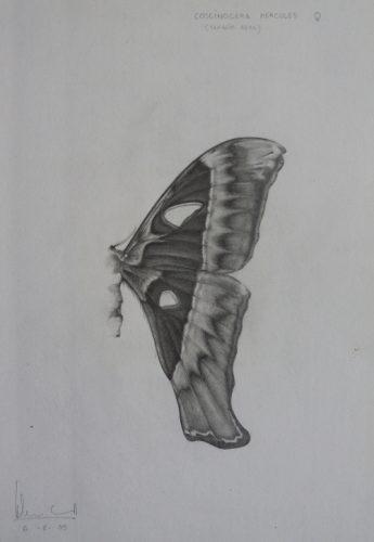 Coscinocera hercules | Guillermo Coll