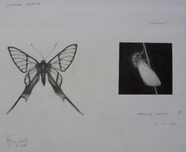 Chorinea octavius/Hepialus humuli | Guillermo Coll