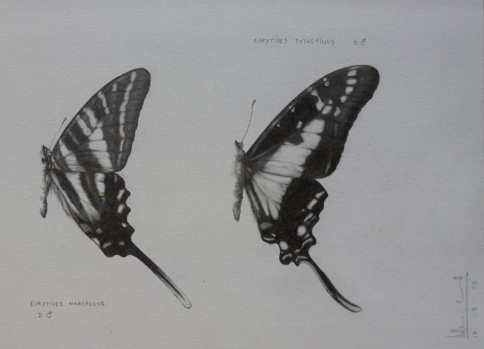 Eurytides marcellus/thyastinus | Guillermo Coll